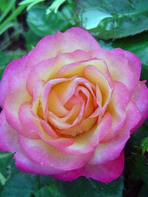 Роза полиантная