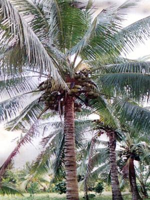 Южный кокос