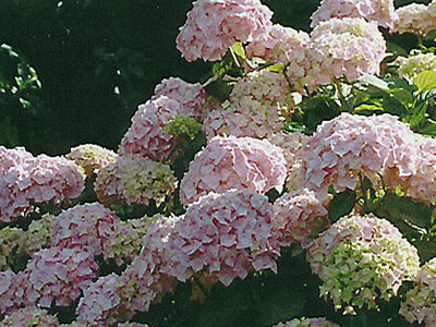 Обрезка гортензии садовой