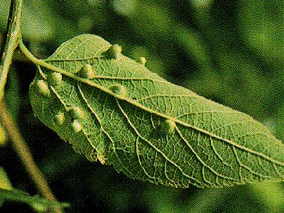 Защита садовых цветов от слизняков, тли, гусениц и жуков