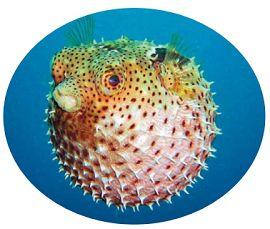 Рыба-шар