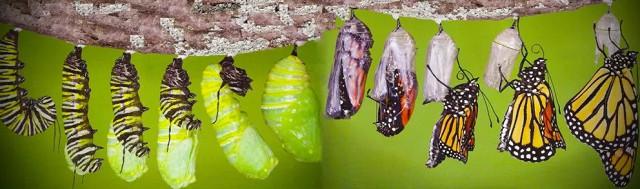 Так появляется бабочка