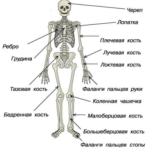 Основные кости скелета человека картинка