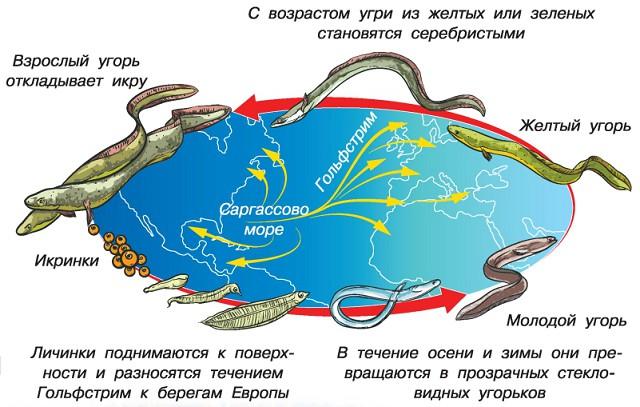 Жизненный цикл угря