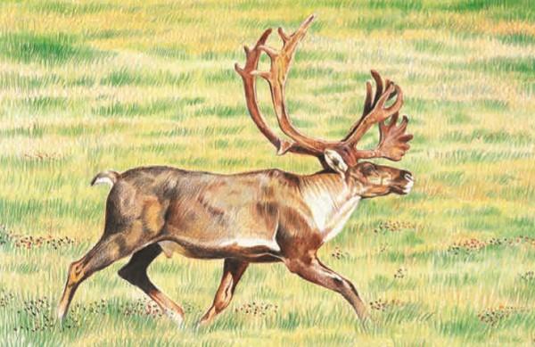 Северный олень питается тундровым лишайником — ягелем