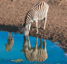 Зебра в зеркале воды