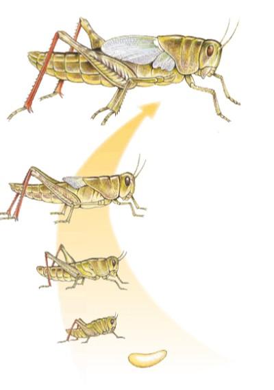 Картинки личинки саранчи