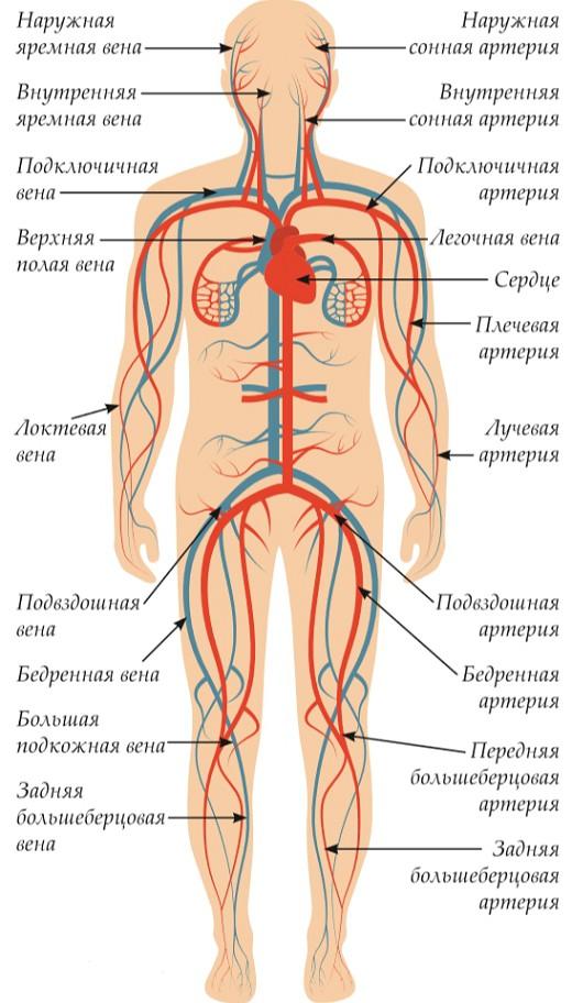 лаконичная, схема кровеносной системы человека фото фото ниже