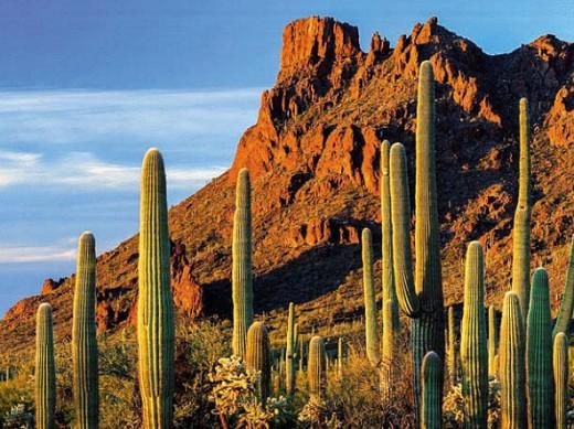 Кактусы в мексиканской пустыне