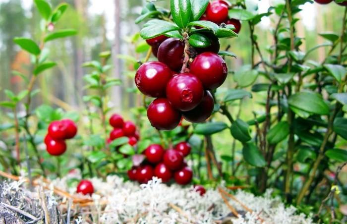 Тайга богата ягодами