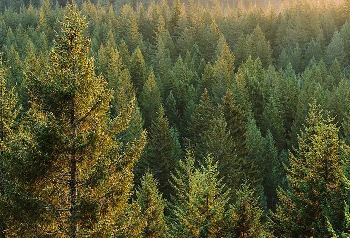 ветло и темнохвойные леса