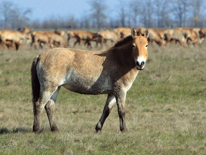 Тарпановидные лошади