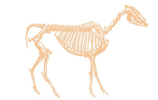 Скелет гиппариона