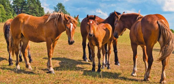 курсовая работа русская порода лошадей история и характеристика
