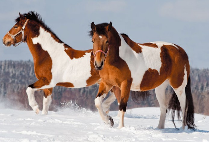 Лошади пинто