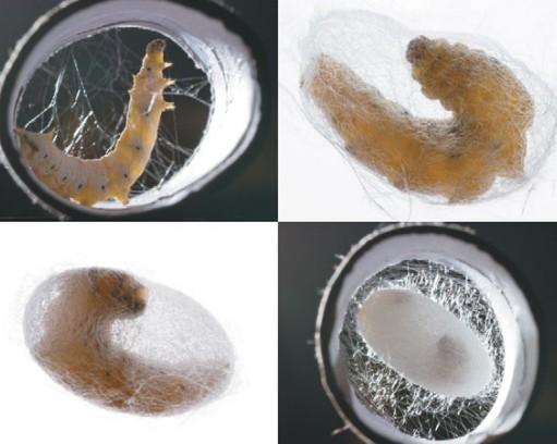 Шелковичный червь в коконе