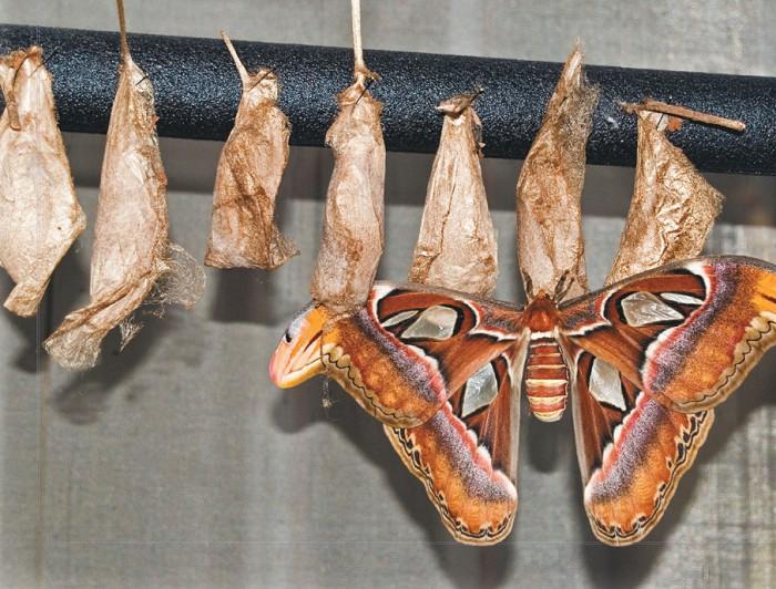 Бабочка атлас
