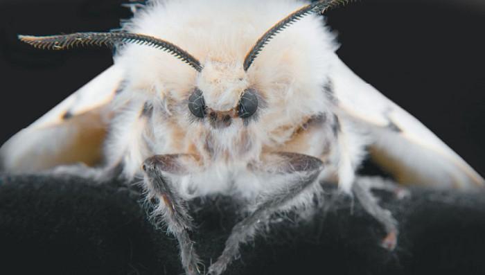 Самец непарного шелкопряда