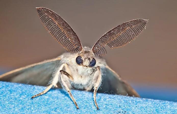 Самка непарного шелкопряда