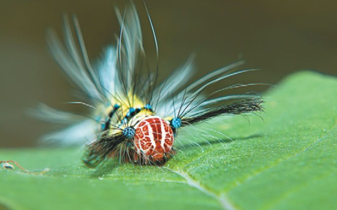 Волосатая гусеница