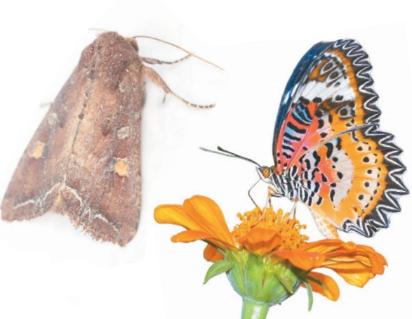 Ночная (слева) и дневная бабочка