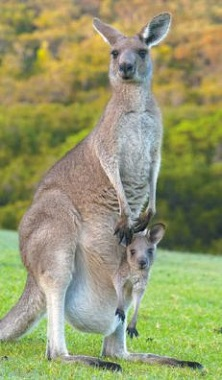 Символ Австралии — кенгуру